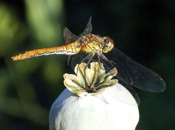 libellule synpatrum sanguineum femelle