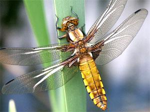 Odonata - Libellule